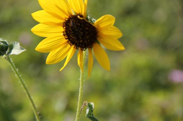 Texas daisy