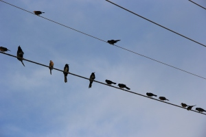 Black birds on wire